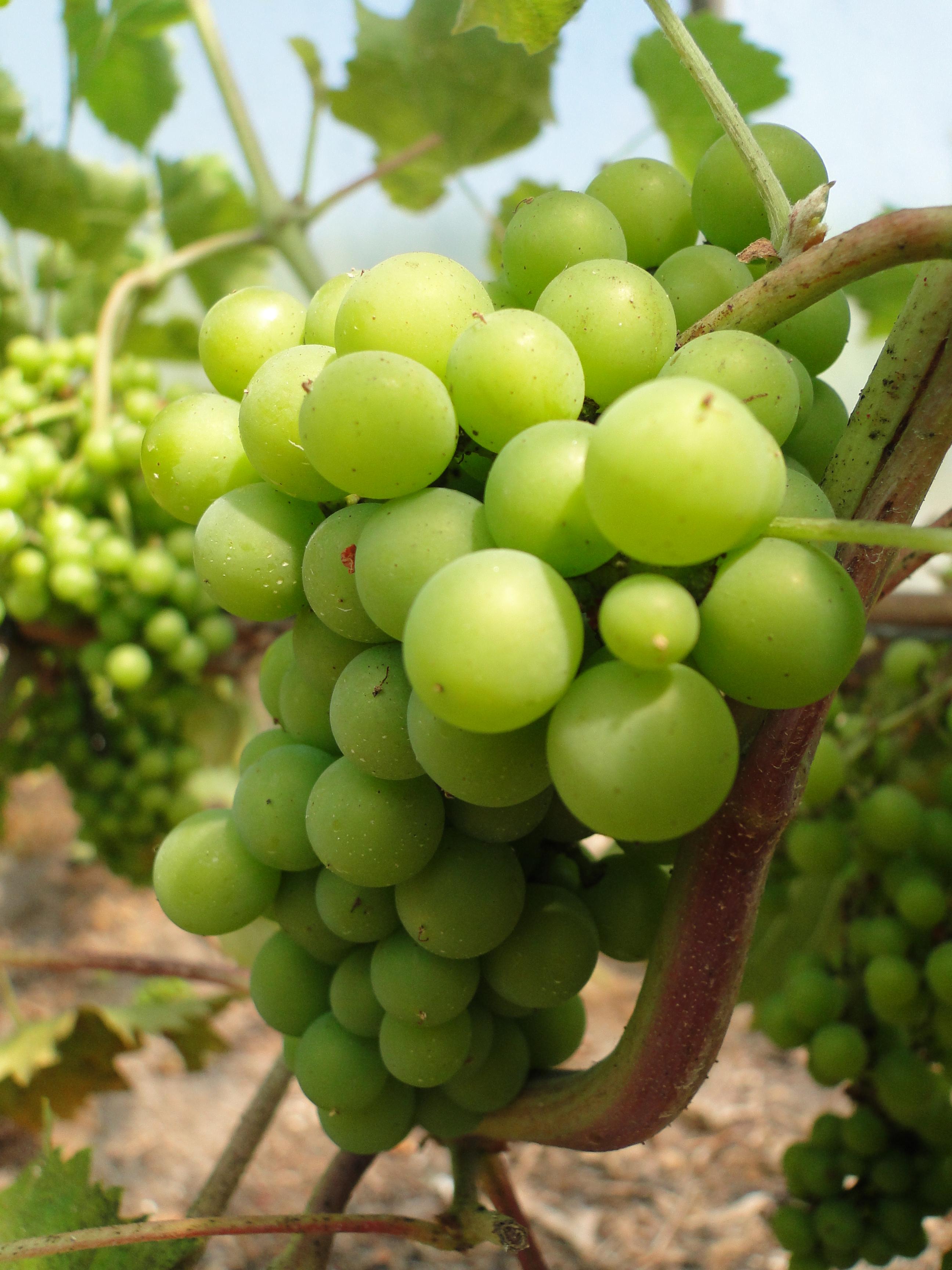 st-martins-vineyard-3.jpg