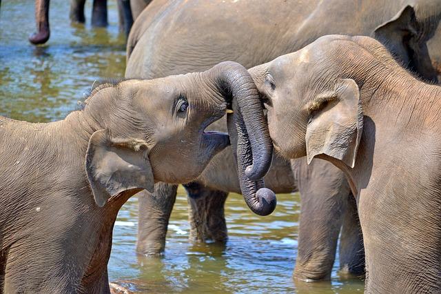 young-elephants-264711_640